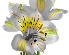 Gray and yellow Peruvian Lily