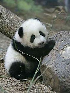 Pandas :)