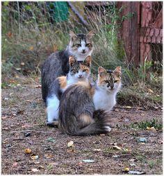 Triplet Sister Tricolor Cats