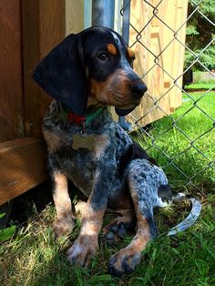 My Dixie girl blue tick coonhound