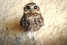 Baby Owl: Look into my eyes....