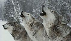 wolves-inset-396x233_1.jpg (396×233)