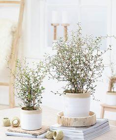 Sophora prostrata Little Baby Plants For Planters, House Plants Decor, Indoor Plants, Diy Plante, Belle Plante, Decoration Plante, Gnome Garden, Plant Design, Types Of Plants