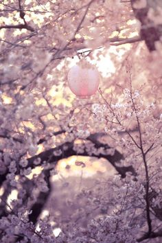 Japanese lantern in a cherry blossom tree...
