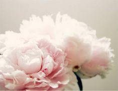 Peony print flower photography spring art nursery decor home