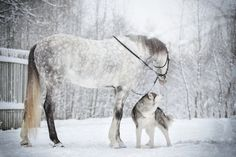 This is the friendship between a horse and a malamute; the photos depicting the sweetest moments of their friendship are more than adorable. Horses And Dogs, Cute Horses, Pretty Horses, Horse Love, Animals And Pets, Cute Animals, Beautiful Creatures, Animals Beautiful, Most Beautiful Horses
