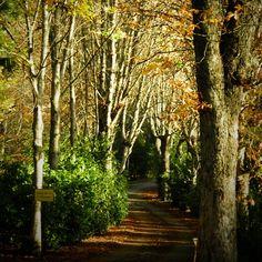 Paseo de los castaños en los Jardines del Campo del Moro en Madrid, España. #Otoño #Autumn #PaseoDeLosCastaños #JardinesDelCampoDelMoro #jardin #jardines #garden #Madrid #camino #path #paseo #walk #parque #park #árbol #tree #hojas #leaf #leaves #Fall #ramas #paisaje #landscape #soledad #Loneliness #calm #PazYTranquilidad