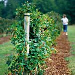 """""""Reroute"""" the blackberries that are growing wild on the hillside and make a trellis """"fence"""" for the front yard.  Easier to pick and better use of space!"""