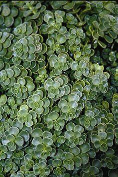 Sedum spurium 'John Creech'