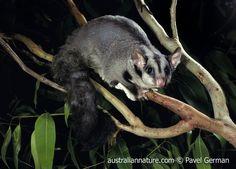 greater glider possum | australian mammals