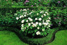 Winchester Cathedral (Rose) m, remonterande, doft Winchester Cathedral Rose, White Roses, White Flowers, Dream Garden, Home And Garden, David Austin Roses, Rose Bush, Formal Gardens, White Gardens