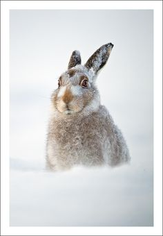 Excuse me waiter, but there's a hare in my snow!