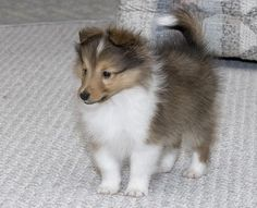 Sheltie puppy~ I have one and he is the cutest ball of fluff on the planet