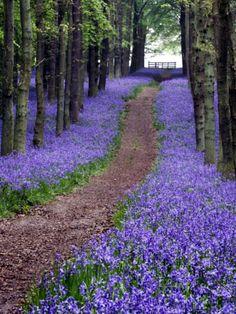 Spring Bluebells - UK