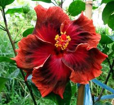 Deep red hibiscus...beautiful!