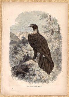 Birds: Wedge - Tailed Eagle c1900 Chromolithograph