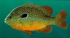 "Swampland Longear Sunfish ""Starburst""  | Outdoor Alabama"