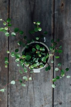 Australian ivy plant
