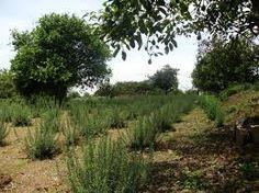Resultado de imagen de cultivo de romero