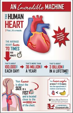 Fun facts about the human heart, an incredible machine by Texas Heart Institute. Heart Facts, Heart Institute, Heart Anatomy, Nursing Notes, Nursing Care, Nursing Tips, Human Anatomy And Physiology, Medical Facts, Circulatory System