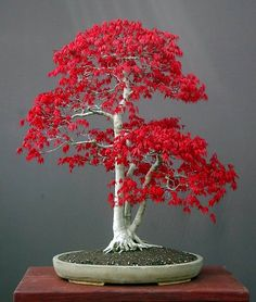 Look at the amazing color on this bonsai tree! Bonsai trees are sweeping the nation with the classic, zen ambiance they create in any home décor! See more bonsai trees like this one at www.Acer palmatum (Japanese Maple Small Leaf) 20 Fresh seeds - P Red Maple Bonsai, Japanese Maple Bonsai, Japanese Red Maple, Red Maple Tree, Red Tree, Japanese Tree, Bonsai Seeds, Bonsai Plants, Garden Plants