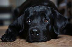 Labrador Retriever Pup ~ Classic Look Black Labrador, Labrador Puppies, Labrador Retrievers, Black Labs, Black Lab Puppies, Dogs And Puppies, Doggies, Guide Dog, Dog Quotes