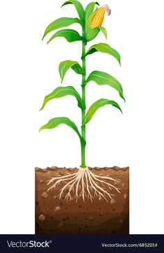 Fresh corn with roots underground Royalty Free Vector Image Farm Images, Tree Images, Popcorn Theme, Vegetable Drawing, Vegetable Pictures, Biology Art, Microscopic Photography, Corn Plant, Fruit Picture