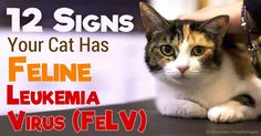The feline leukemia virus is most commonly seen in cats living with infected cats or cats of unknown infection status. http://healthypets.mercola.com/sites/healthypets/archive/2016/02/07/feline-leukemia-virus.aspx