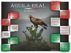INFOGRAFÍA . El Águila Real en México es un símbolo del escudo nacional originado a partir de la fundación de Tenochtitlán; y del cual, se ...