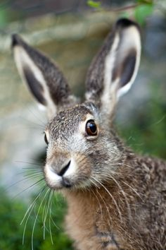 Brown Hare Stock Photos, Pictures & Royalty-Free Images - Top 30 Brown Hare Stock Photos, Pictures, and Images – iStock - Hare Pictures, Rabbit Pictures, Animal Pictures, Hare Images, Animals And Pets, Baby Animals, Cute Animals, Images Of Animals, Baby Pandas