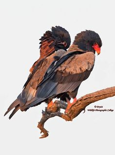 Mr and Mrs Bateleur settling in for the night.....Mrs on left of image