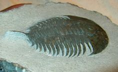 Exceedingly Rare Early Cambrian Redlichiid Trilobite  Aff Psedosaukianda lata;   Trilobites Order Redlichiida, Family Saukinadidae;   Geological Time: Lower Cambrian, Atabanian Stage;    60 mm long;   Fossil Site: Issafen Formation, Issafen, Morocco