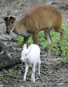 a three-week old albino barking deer, leads his unnamed mother in their enclosure during a news conference introducing a new member of the Dusit Zoo in Bangkok, Thailand.    Read more: http://www.nydailynews.com/life-style/albino-animals-gallery-1.26671#ixzz1udOfUp82