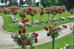 Stromkové růže na zahradě