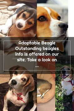 Adoptable Beagle Outstanding beagles info is offered on our site. Take a look and you will not be sorry you did. - Adoptable Beagle, Beagles, Corgi, Take That, Animals, Corgis, Animales, Animaux, Beagle