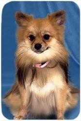 Pomeranian Tempered Large Cutting Board by Doggie of the Day, http://www.amazon.com/dp/B00514KTZQ/ref=cm_sw_r_pi_dp_kS5grb1NY6XV1