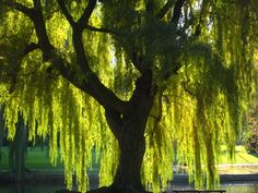 weeping willows are my favorite tree ever. so magical and unique. cherry trees take a close second, due to their oh so pretty blooms. Weeping Willow, Willow Tree, Weeping Trees, Willow Bark, Celtic Tree, Garden Guide, Dream Garden, Garden Hoe, Tree Of Life