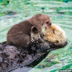 This adorable baby sea otter signifies a big cause for celebration - Baby Otter Cute Little Animals, Cute Funny Animals, Mother And Baby Animals, Baby Sea Otters, Otters Cute, Otter Love, Tier Fotos, Animals Beautiful, Pet Birds