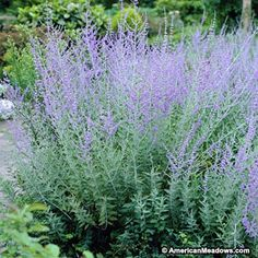 Russian Sage is a vigorous, hardy, heat loving, drought tolerant blue-flowered perennial that makes a big show in the garden. A great companion plant to ornamental grasses(Perovskia atriplicifolia)