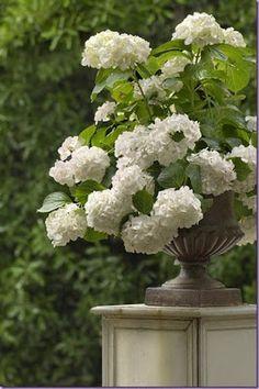 Ah the beautiful Limelight hydrangea