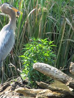 Great Blue Heron with a fish  Swamps of Louisiana