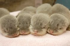 Newborn otters. Awwwww....