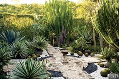 An artfully composed garden room features the bristling century plant and variegated agave, both at left; lanky consolea and candelabra euphorbia, at center; and diminutive golden-barrel cactus, throughout.