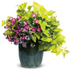 Proven Winners - Life of the Party combination container recipe containing Margarita - Sweet Potato Vine - Ipomoea batatas, Supertunia® Mini Bright Pink - P. Container Flowers, Container Plants, Container Gardening, Garden Planters, Garden Beds, Potato Vines, Proven Winners, Spray Roses, Blooming Flowers