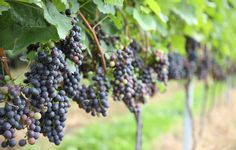 Find Pinot Noir in New Places - Calling all Pinot lovers: it's time to look beyond the Burgundy region for your next bottle of red.