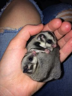 Sugar Glider Baby, Sugar Gliders, Baby Animals Super Cute, Cute Funny Animals, Australian Animals, Australian Possum, Baby Pigs, Baby Bunnies, Baby Skunks