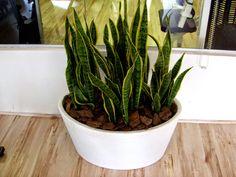 A espada-de-são-jorge ou espada-de-santa-bárbara, também conhecida como língua-de-sogra, rabo-de-lagarto e sanseviéria, é uma planta herbácea