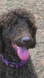 Kate is an adoptable Standard Poodle Dog in Alpharetta, GA. Kate is a young beautiful deep chocolate brown standard poodle girl born January 8, 2011. She loves to run and play and is friendly with al...