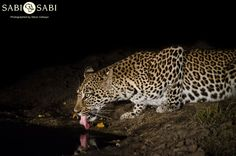 A female known as the Hlarulini female paid us a visit, and she was found on an Impala kill. Private Games, Game Reserve, Impala, Wildlife Photography, Big Cats, Tigers, Lions, Panther, South Africa