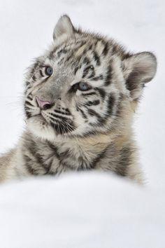 Snow Tiger Mobile Wallpaper - Mobiles Wall